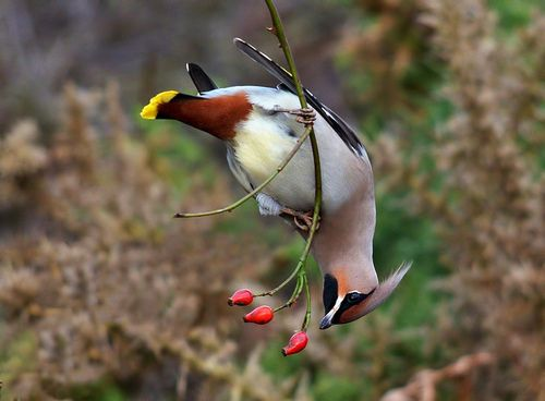 Waxwing. by Rich-Edmondson on Flickr.  aw yisss mother fukkin berries