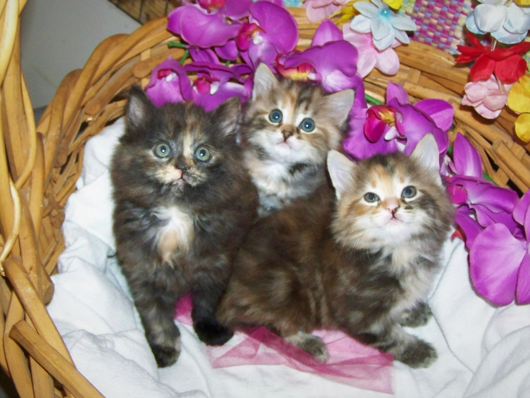 Maezie Is Available At This Time She Is 6 Weeks Old She Is The Tortoiseshell Kitten On The Left Her Sisters Are Kitten For Sale American Bobtail Kitten
