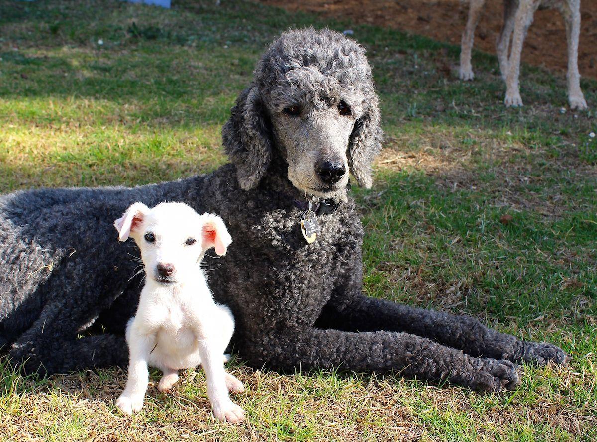 Vikki Kauffman Poodle Breeder Labrador Retriever Perros Poodle