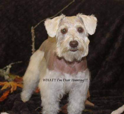 River S Miniature Schnauzers Painted Acres Google Search