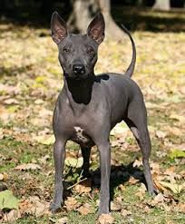 Image Result For American Hairless Terrier Hairless Dog Large Dog Breeds Dog Breeds