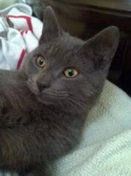 Adopt Ash Didnt Come On Russian Blue Cat Cat Rescue Russian Blue