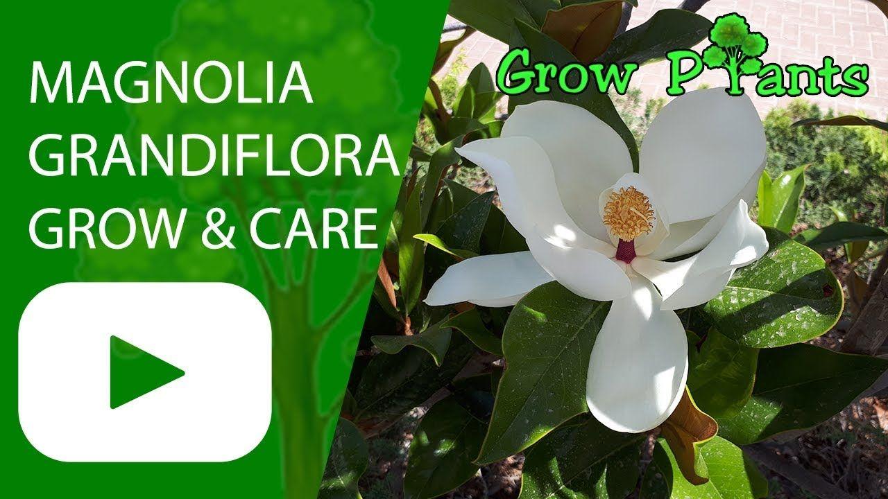 Magnolia Grandiflora Tree Growing Care Shade Tree Plant Information Climate Hardiness Zone Uses Growth S Magnolia Grandiflora Trees To Plant Plants