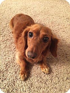 Marcellus Mi Dachshund Mix Meet Moxie Adoption Pending A Dog