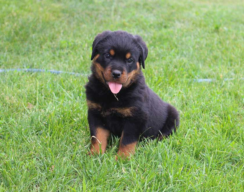 Rottweiler puppies rescue near me