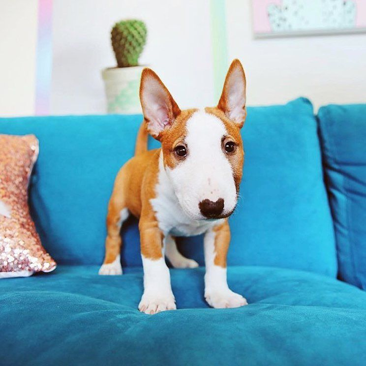 Dog Food Protein Knowing Your Dog Food In 2020 Mini Bull Terrier Puppies Bull Terrier Puppy Mini Bull Terriers