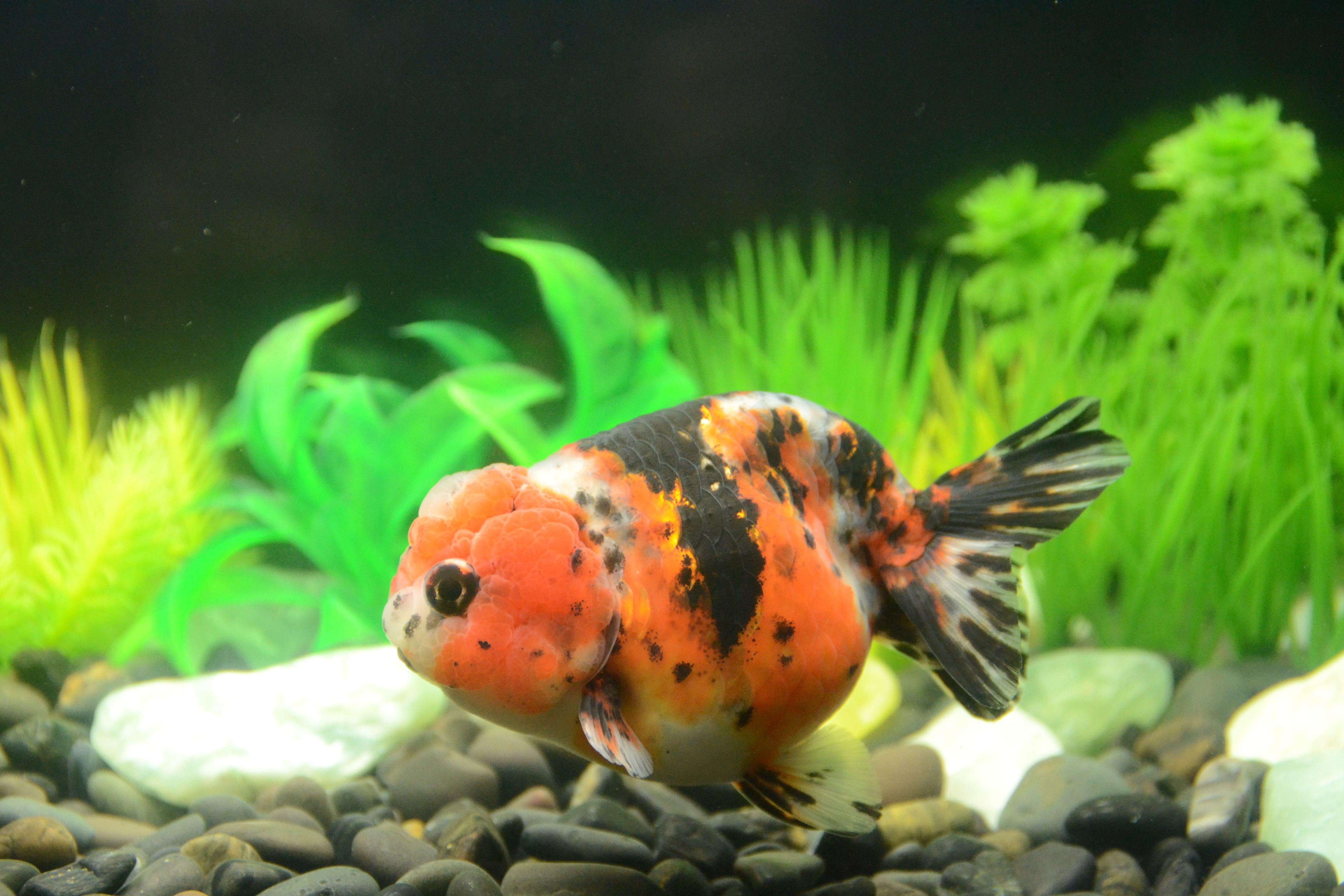 Calico Ranchu Goldfish Buygoldfishonline Com Goldfish Cool Fish Buy Goldfish