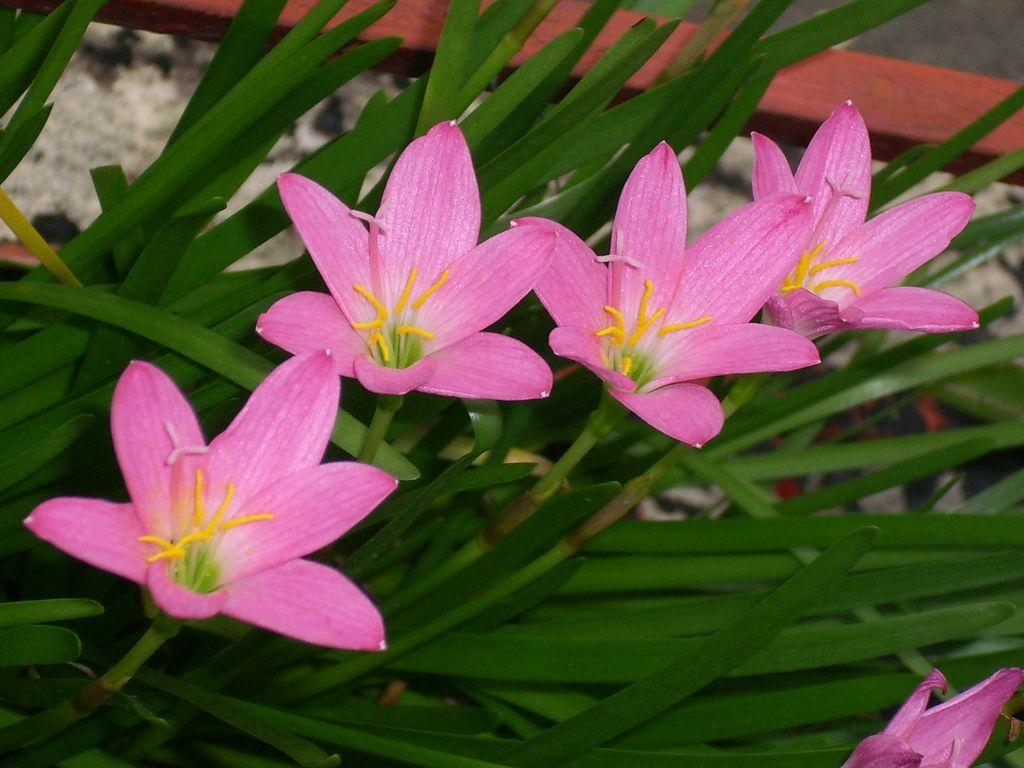 Rain Lily Zephyranthes Rosea Family Amaryllidaceae I Love