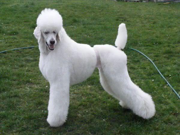 The Desi Trim Poodle Forum Standard Poodle Toy Poodle