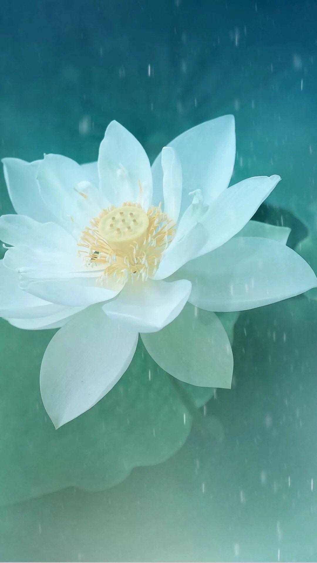 Pure Beautiful Lotus Flower Macro Iphone 8 Wallpapers Lotus