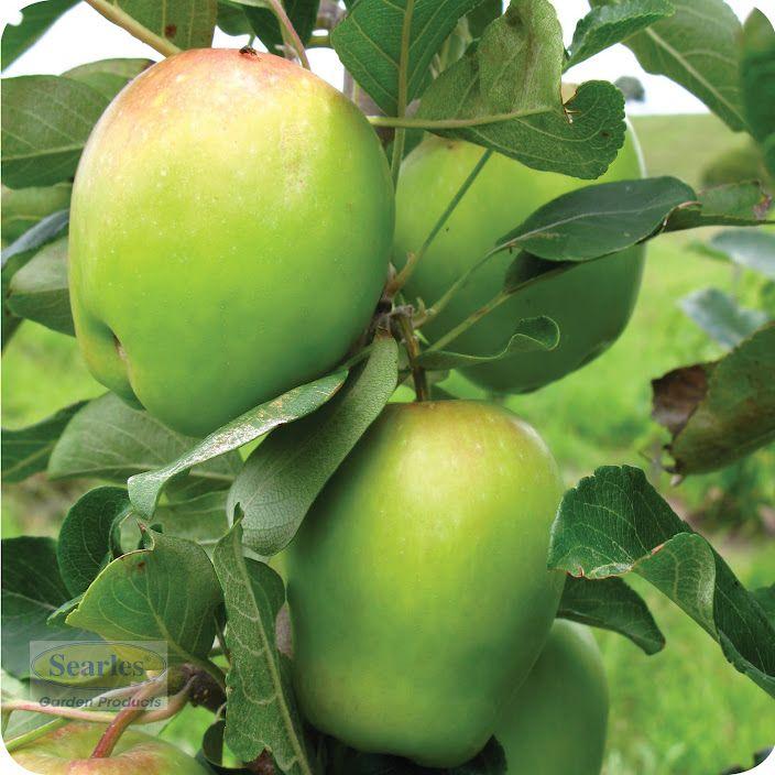 How To Grow Feijoas Pineapple Guava Growing Fruit Trees Pineapple Guava Tree
