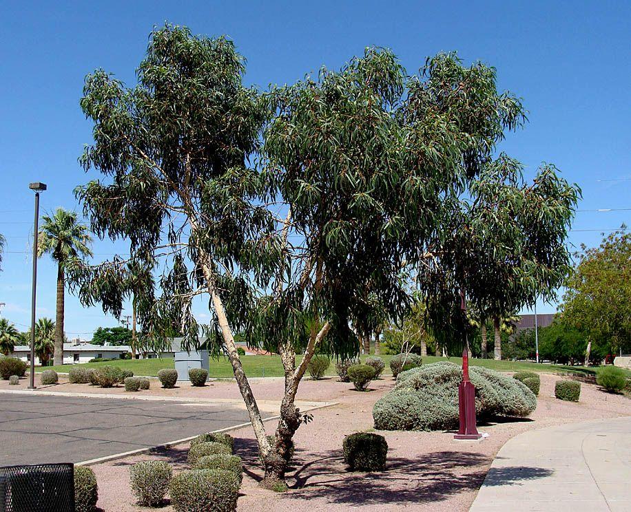 Eucalyptus Erythrocorys Red Cap Gum Tree Australian Plants