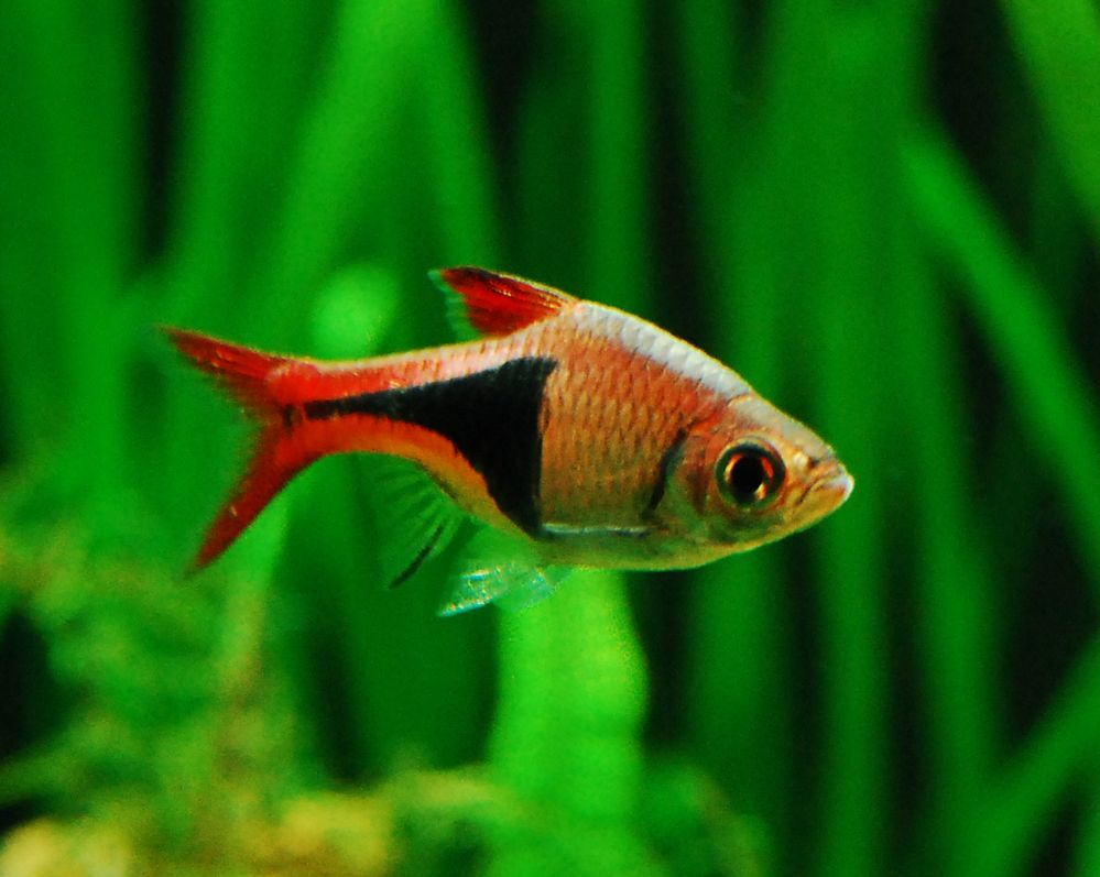 Freshwater aquarium fish info - Harlequin Rasbora Information Trigonostigma Heteromorpha Freshwater Fish Tankfreshwater Aquariumaquarium