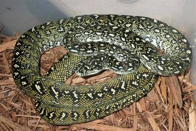 How Many Types Of Carpet Pythons Are There Types Of