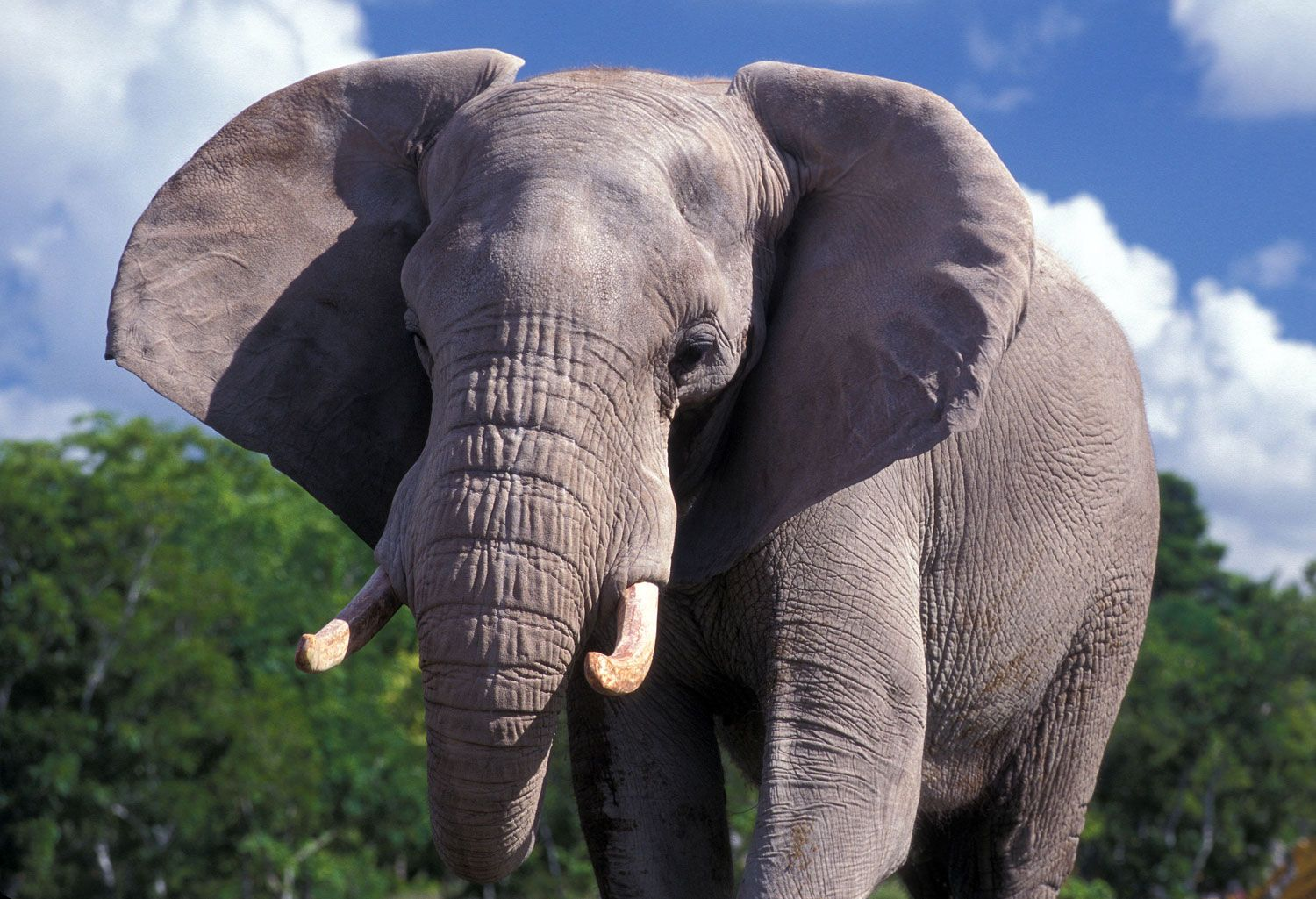 Our African Elephants Zoo Miami African elephant facts