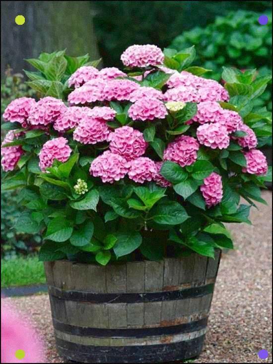 Pink Hydrangeas Look Amazing Med Bilder Hage Blomster Staude