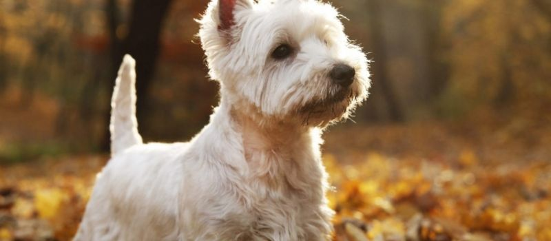 West Highland Terrier Puppies For Sale In 2020 West Highland Terrier Puppy Terrier Puppies Puppies For Sale
