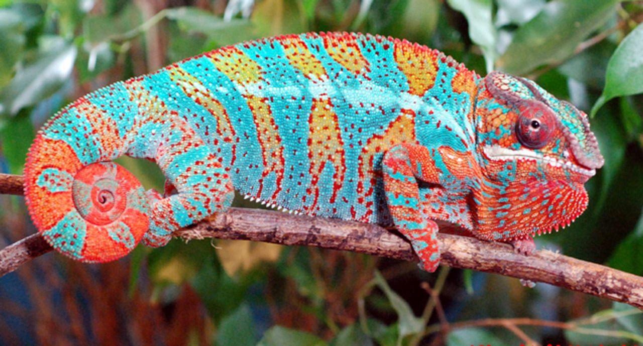 Panther Chameleon Chameleon Animals Reptiles