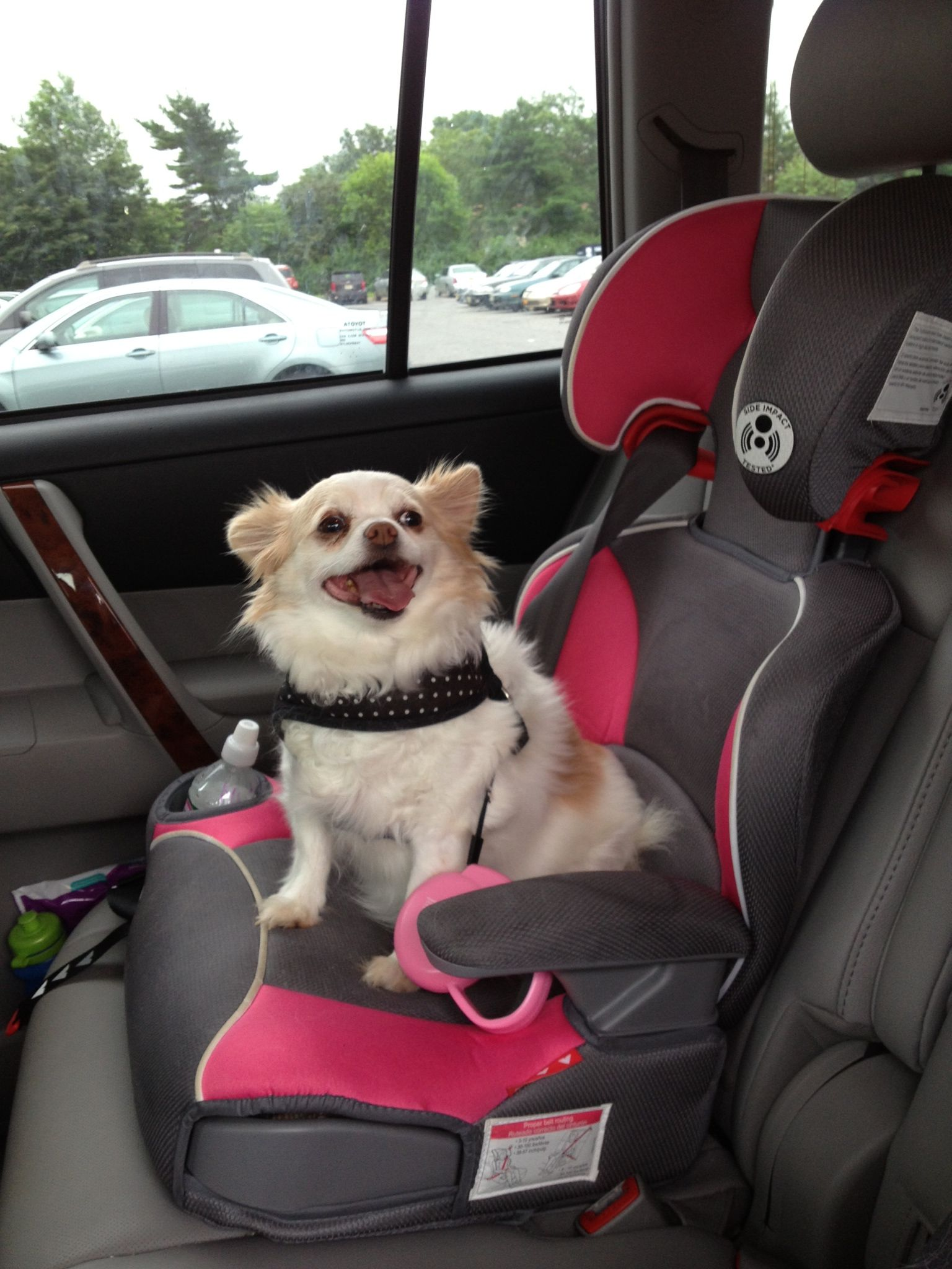 Bella The Chihuahua Loves Her Rides In Car And Has Adopted Own Seat