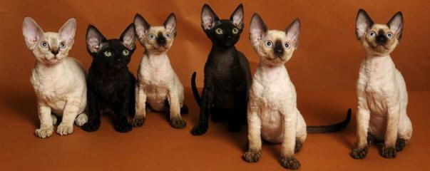 Devon Rex Cat Breeders Devon Rex Kittens For Sale Devon Rex Cats Devon Rex Kittens Rex Cat