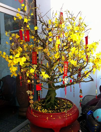 Yellow blossom tree Chinese New Year Gifts, Lunar New, Blossom Trees, Vietnam,