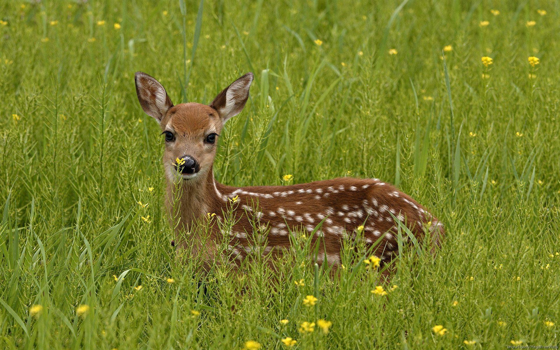 Best Baby deer ideas on Pinterest Pics of deer Deer like
