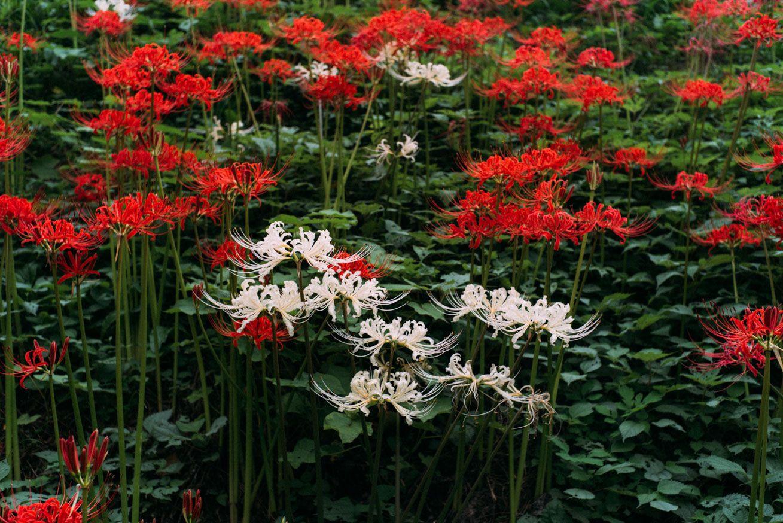彼岸花が咲き乱れて真っ赤に染まった曼珠沙華公園に行ってきた(埼玉県日高市) Flowers, Plants