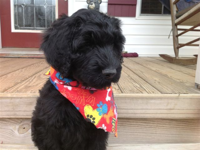 Pierce Schnoodles Nc Schnoodle Puppy Schnoodle Puppies For Sale