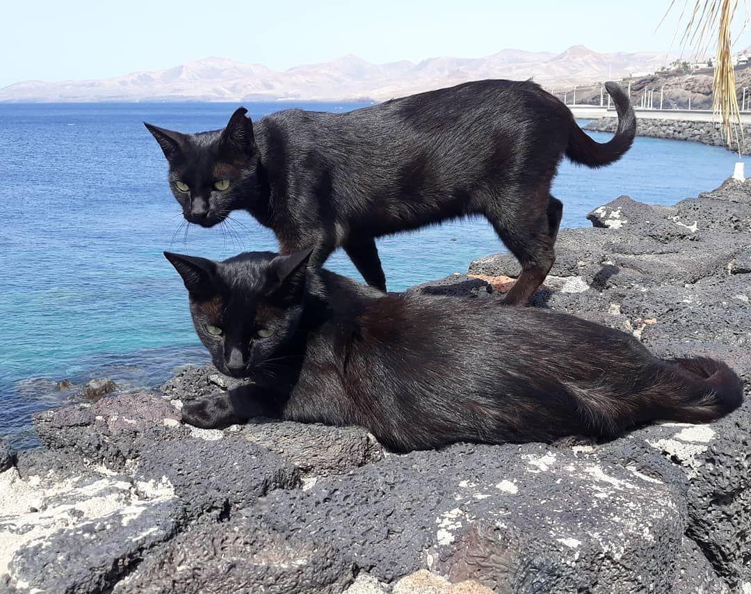 Sleek Panthers Near Playa Chica Lanzarote Puertodelcarmen Cats Kitties Feralcats Streetcats Playachica Tropicalisland Islandlife Canarias Canaryi