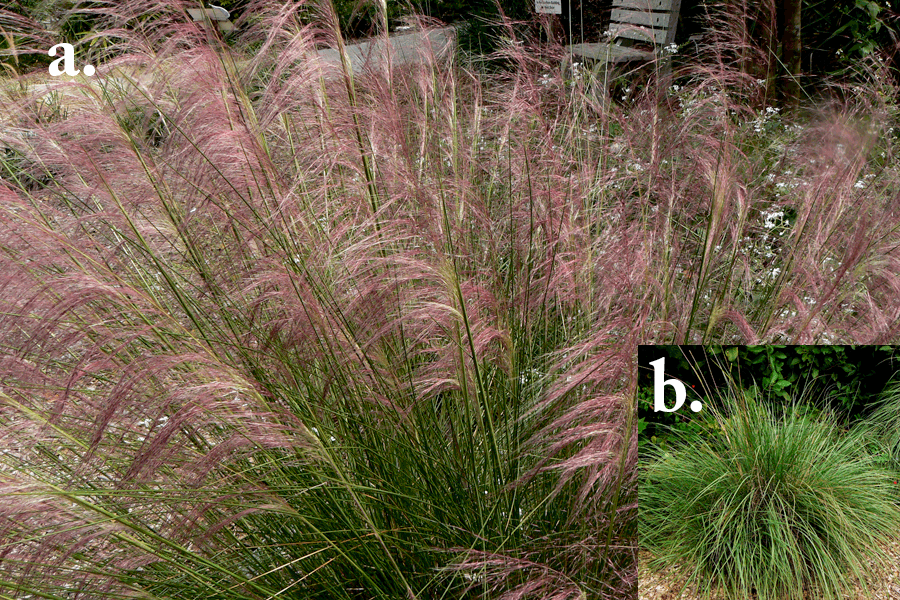 muhly grass. florida native plants