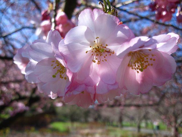 Cherry Blossoms At Bbg Brooklyn Botanic Garden Flowering Cherry Tree Botanical Gardens Prunus