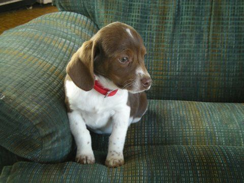 Authentic Registered Olde English Pocket Beagle Puppies We Have Traditional Tri Colored Lemon Hairpied And A Beagle Puppy Pocket Beagle Puppies Pocket Beagle