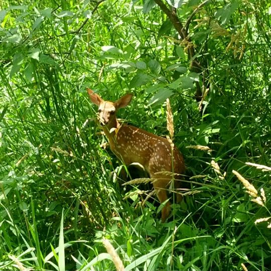 White tailed deer fawn, Maumee Bay State Park Resort And Conference Center, Oregon, Ohio (Trover: © throwingsofas)