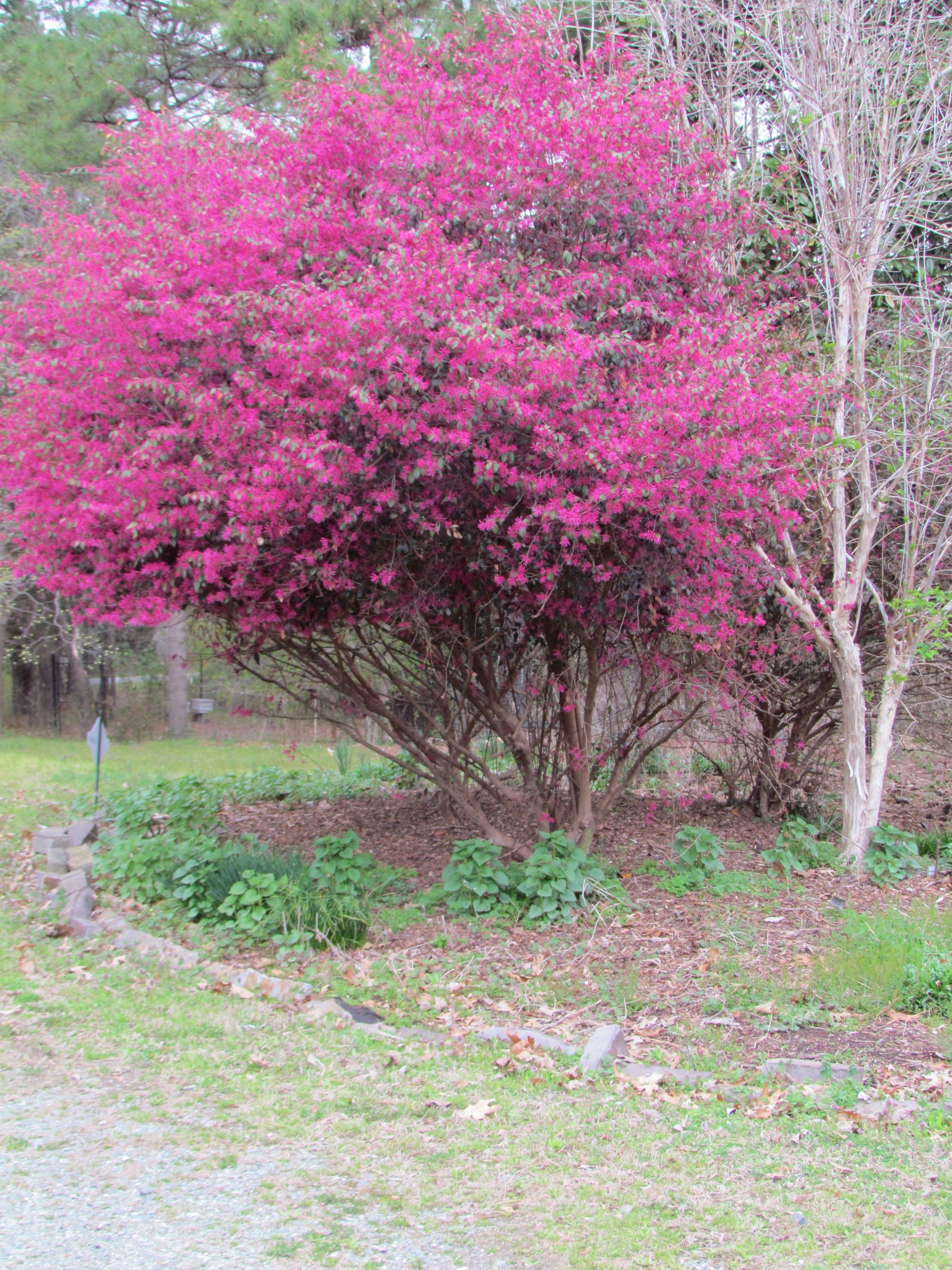 Fuchsia Punch For Early Spring Piedmont Landscapes Types Of