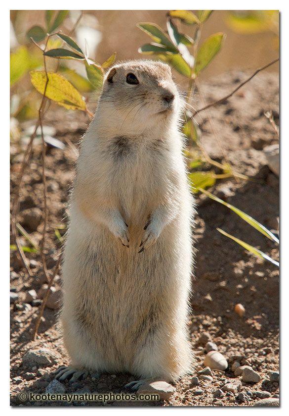 Pronghorn Kootenay Nature Photos Ground Squirrel Cute Animals Nature Photos
