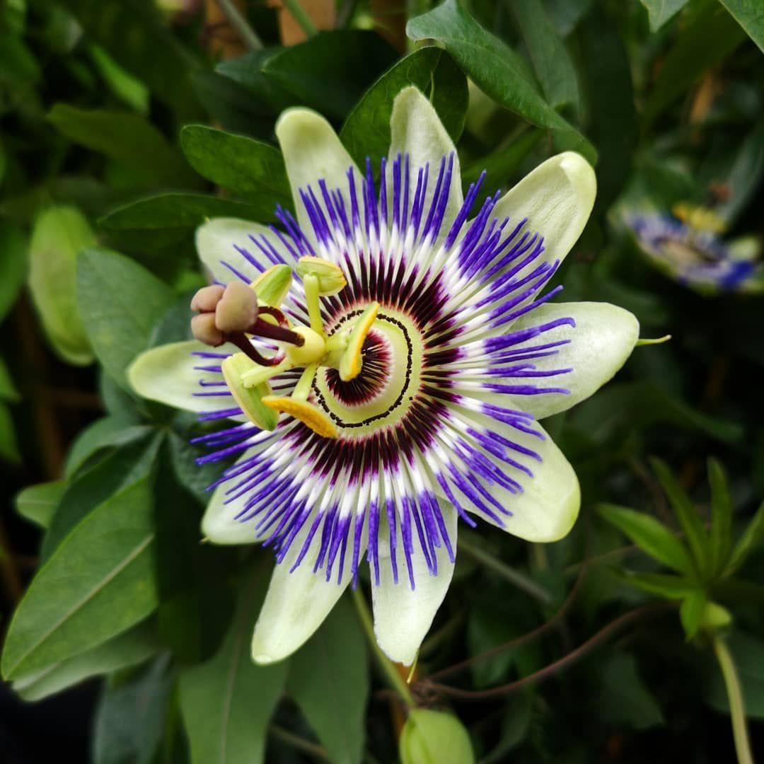 Blue Passion Flower Passiflora Caerulea In 2020 Passiflora Caerulea Rainforest Flowers Blue Passion Flower