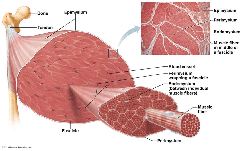 Skeletal Muscle Structure  Photo Created By