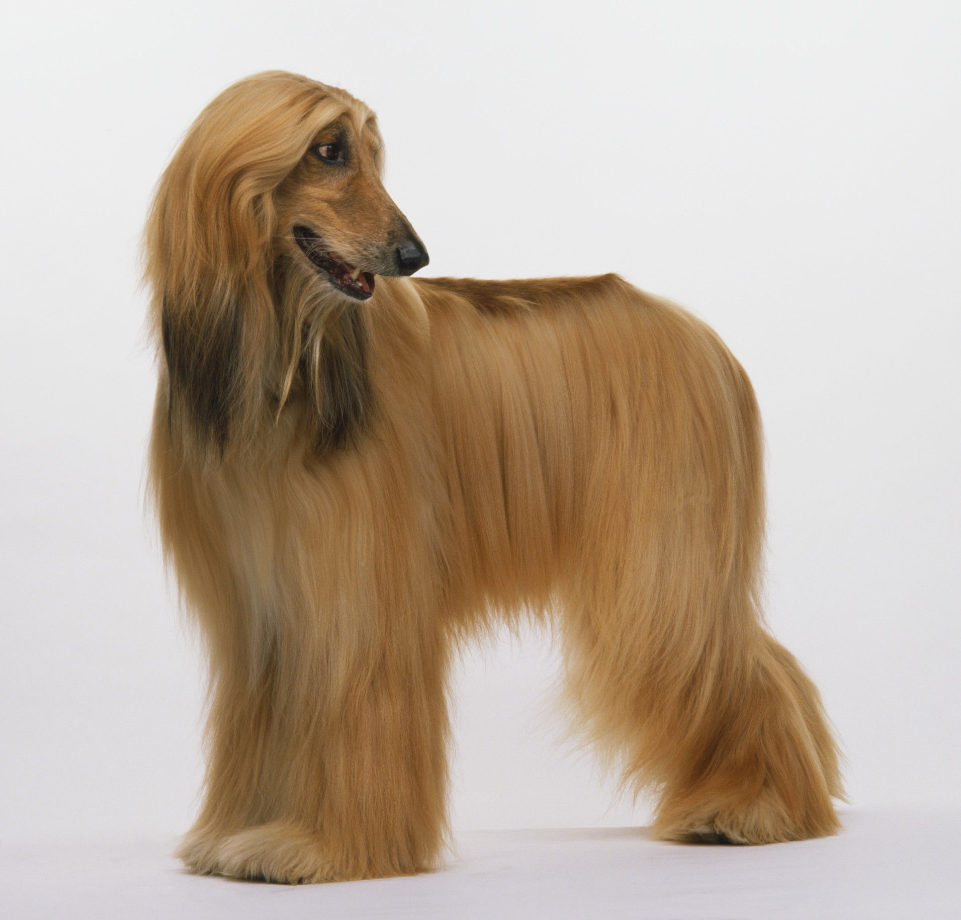 Afghan Hound The Afghan Hound Originated In Afghanistan With