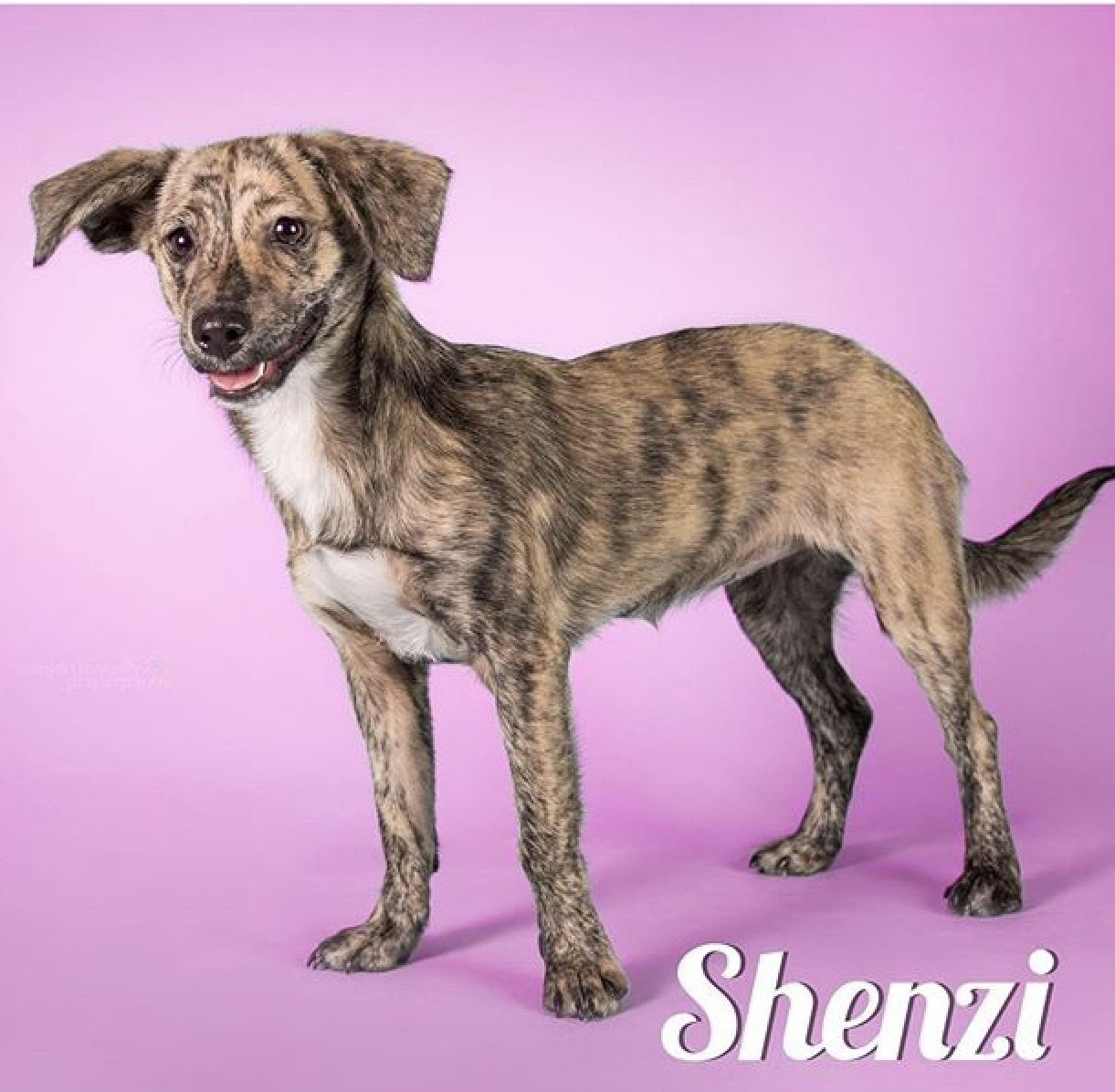 Adopt Shenzi On Terrier Mix Dogs Dogs Terrier Mix