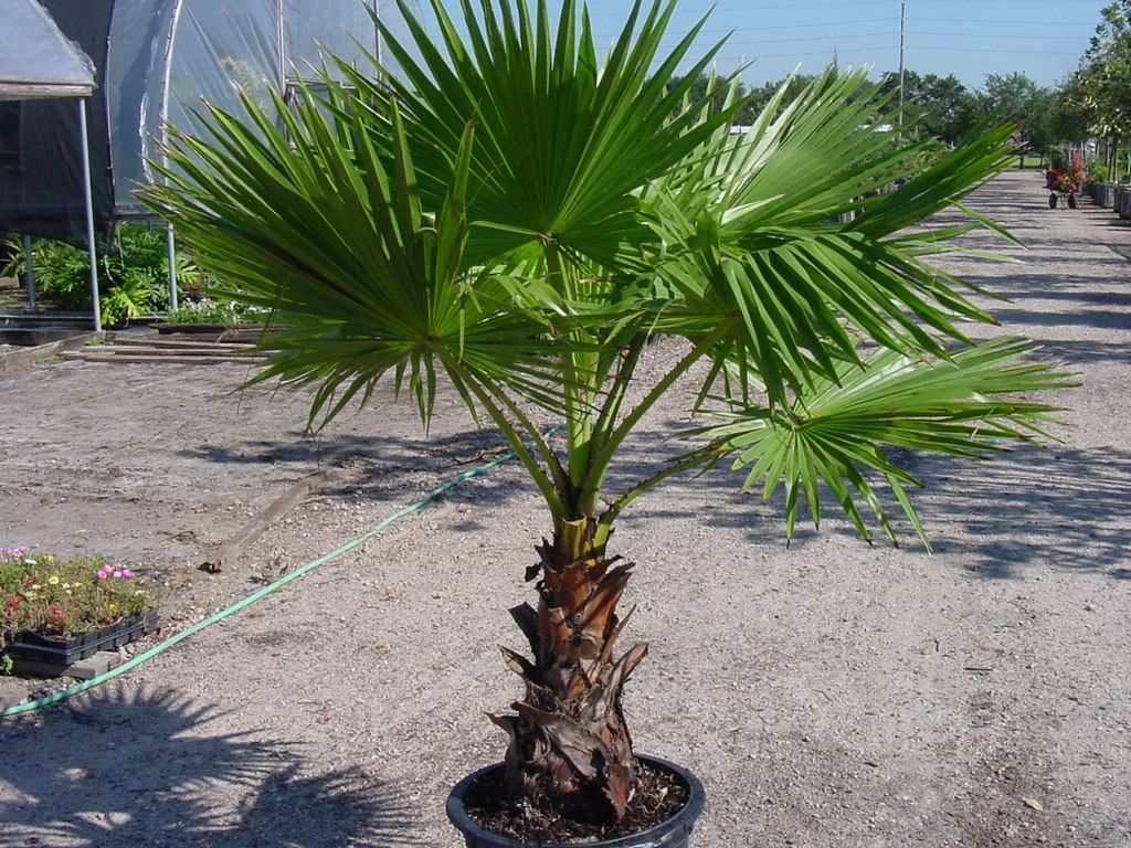 washingtonia robusta mexican fan palm mature height is. Black Bedroom Furniture Sets. Home Design Ideas