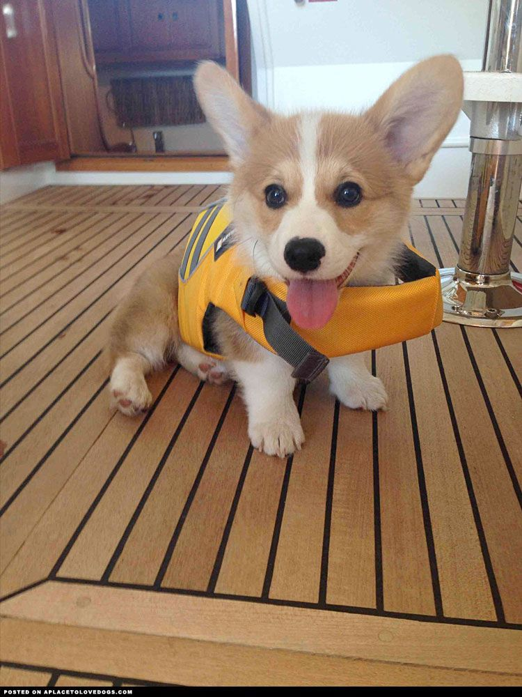 Adorable Little Corgi Pup All Ready In His Life Jacket And Set To