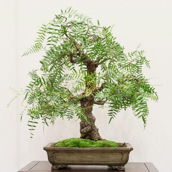 California Pepper Tree Bonsai Bonsai Tree