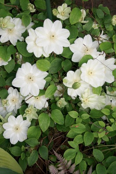 Clematis guernsey cream i love the look of this variety clematis guernsey cream i love the look of this variety mightylinksfo