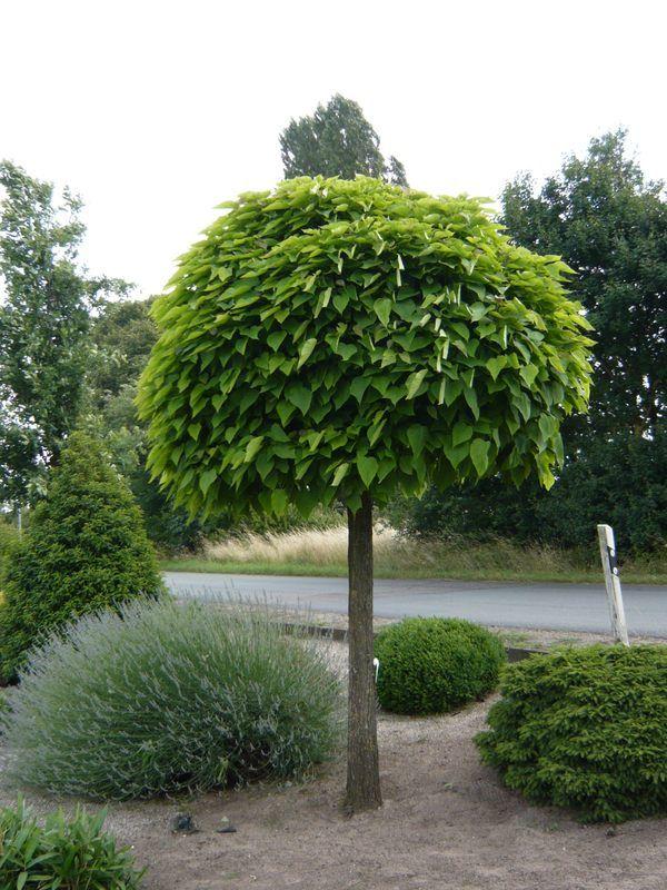 Photo of Catalpa bignonioides 'Nana' / Kugeltrompetenbaum – beliebt bei v