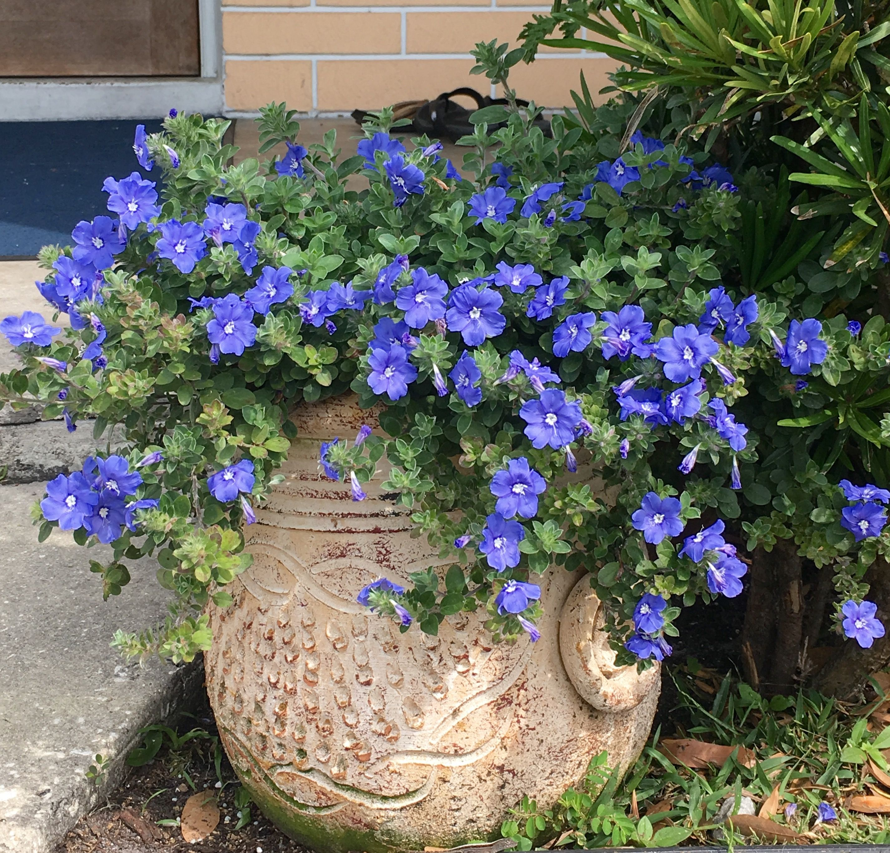 Blue my mind dwarf morning glory this is one of my