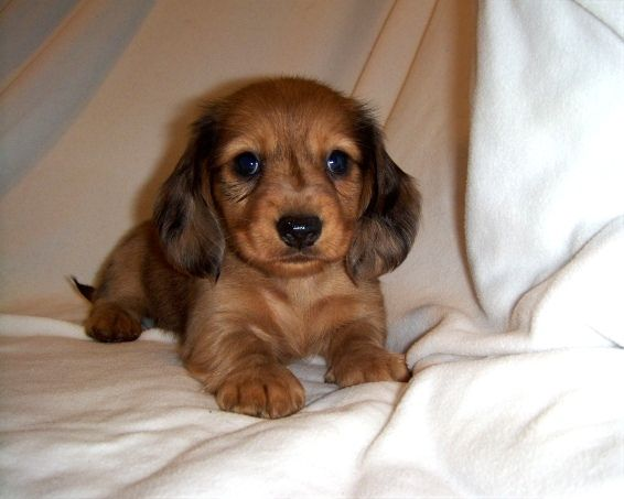 Pets And Clothing By Megan Burnette Dachshund Lovers Dachshund