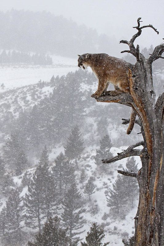 Cougar Calling In Tree Art Print by Jenny Hibbert