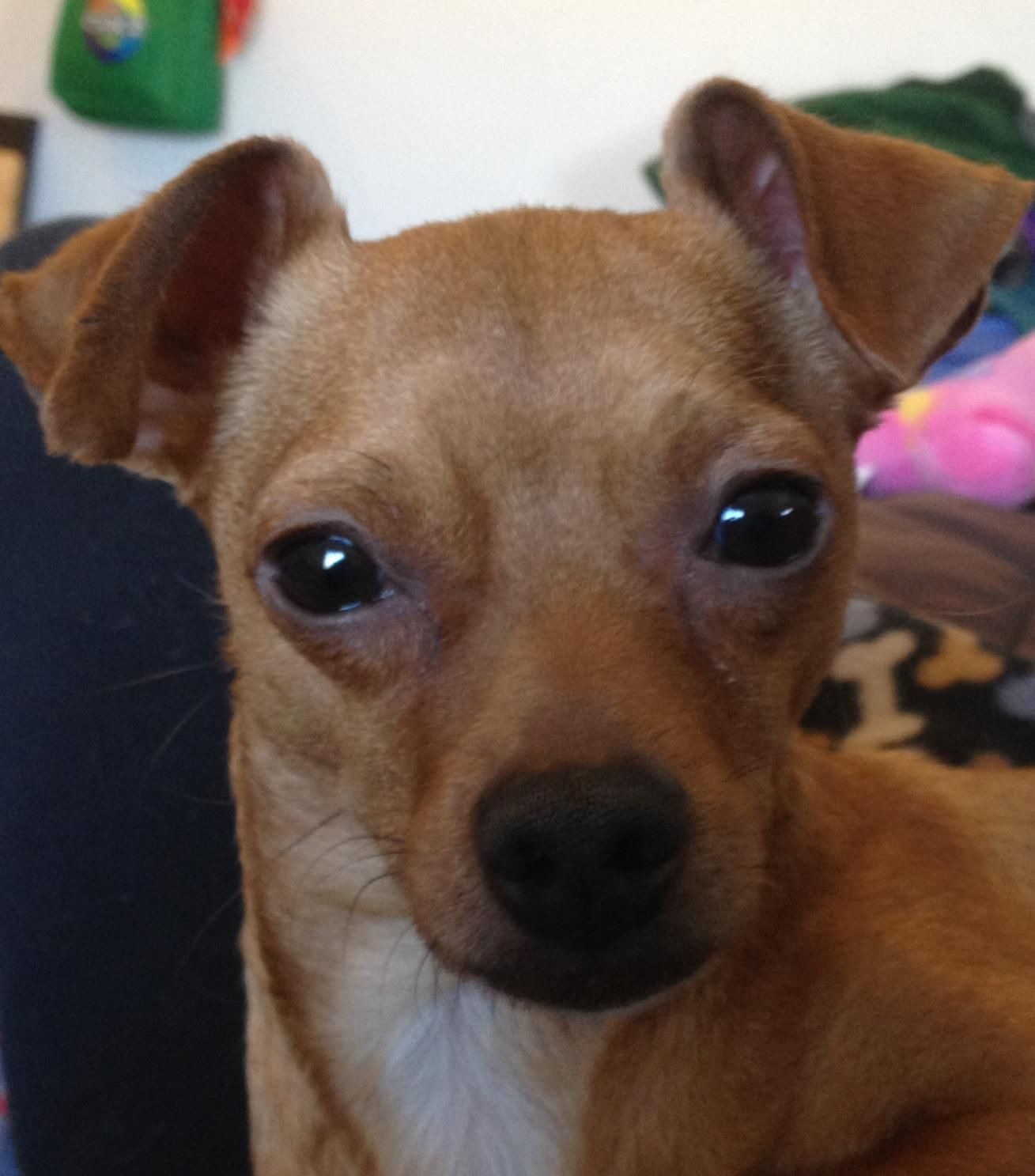 Elfie Available For Adoption Wisconsin Chihuahua Rescue With