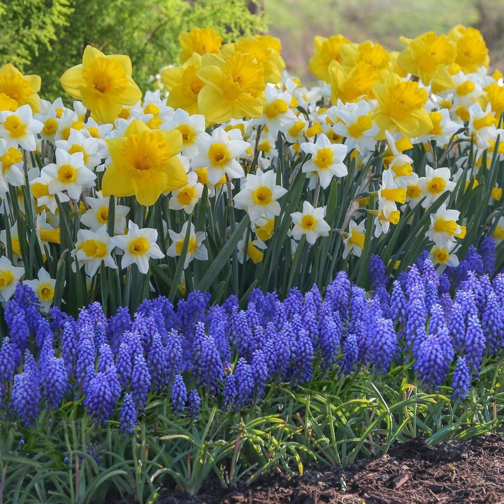 Daffodil Pictures National Garden Bureau Bulb Flowers Spring Bulbs Garden Purple Flowers Garden