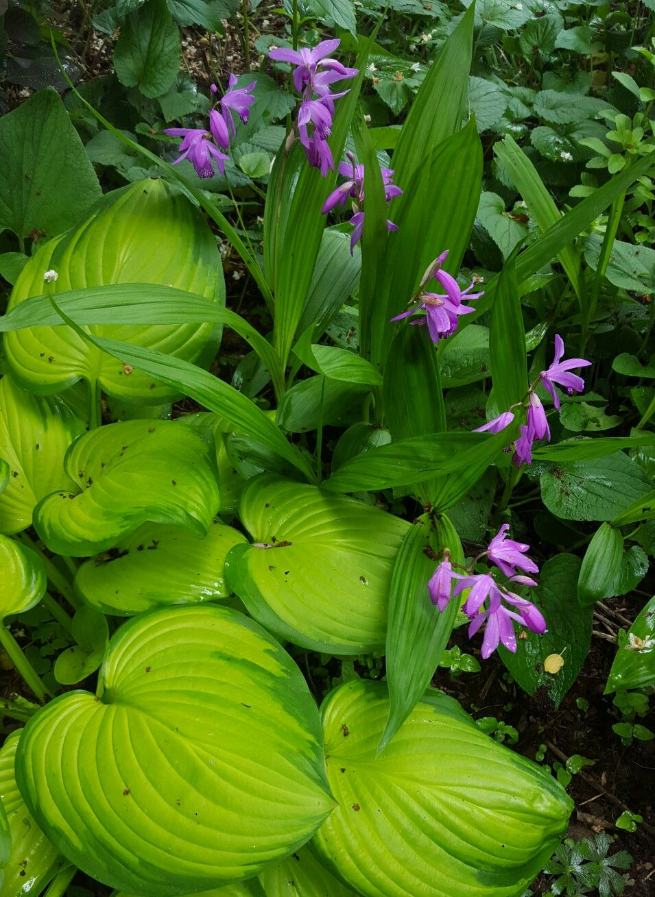 Bletilla Striata (Hardy Ground Orchid) shows of in front of ...